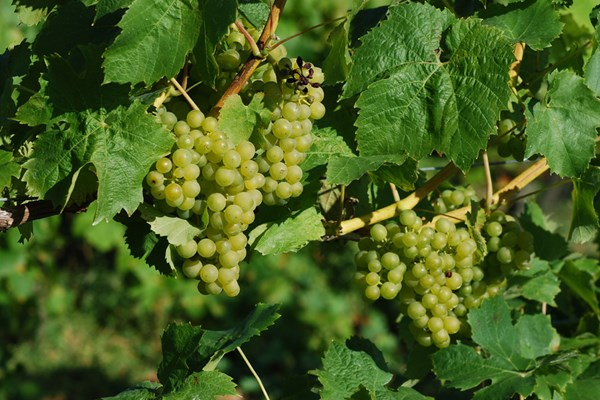 Vineyard Tour with Lunch for Two in Cambridgeshire