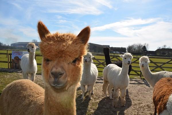 Family Adventure at Alpaca Annie in Kent