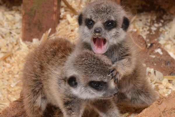 2 for 1 Meerkat Encounter at The Animal Experience