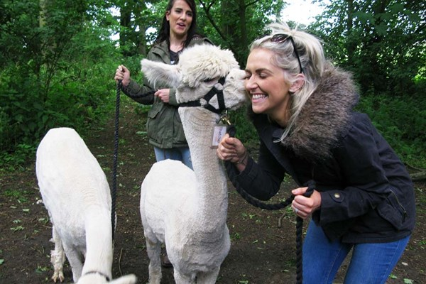 90 Minute Alpaca Walk with Charnwood Forest Alpacas for Two