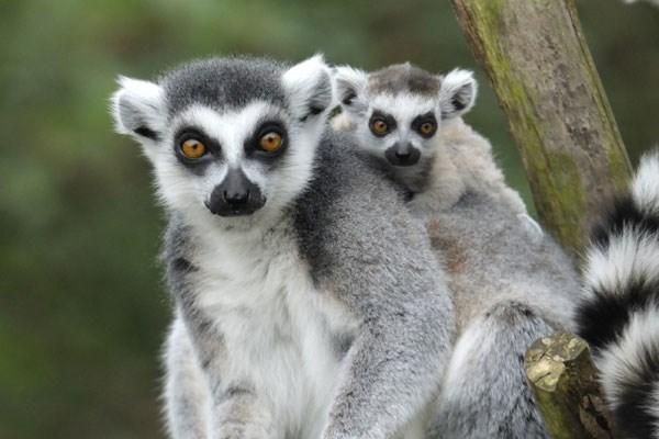 Meet and Greet Lemur Experience at Bristol Zoo Gardens