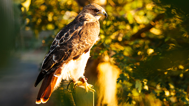 Half Day Falconry Experience for Two at Coda Falconry