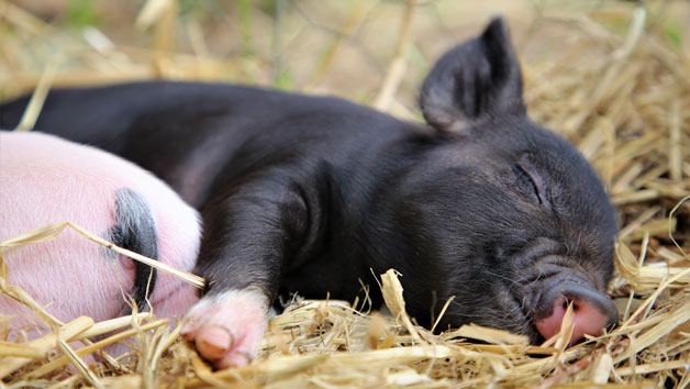 Pig Enthusiast Experience at Kew Little Pigs for Two