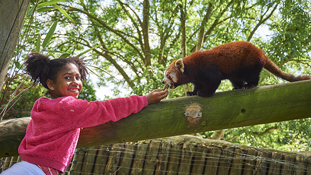 Meet the Red Pandas at Drusillas Zoo Park