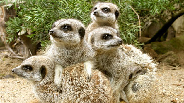 Meerkat Experience at Drusillas Zoo Park for One