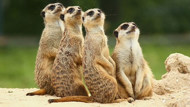 Meerkats Encounter for Two at Willow's Bird of Prey Centre