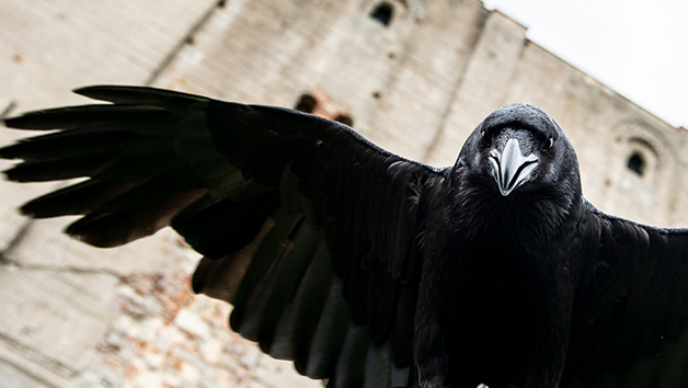Meet Loki the Raven at Coda Falconry for Two