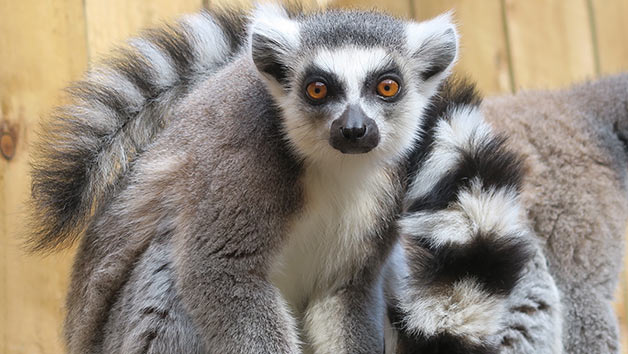 Feed the Lemurs Experience at Ventura Wildlife Park for Two