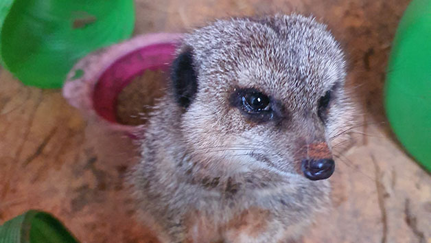Meet the Meerkats Experience for Two People at Lucky Tails Alpaca Farm