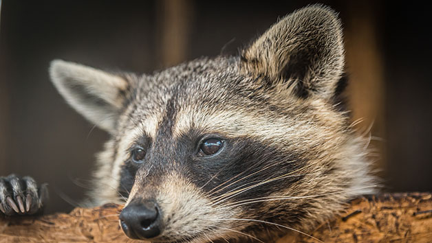 30 Minute Raccoon Encounter for Two at Millets Falconry