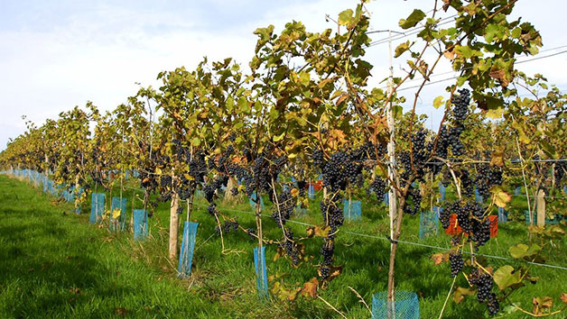 Vineyard Tour with Tasting and Afternoon Tea For Two in East Sussex
