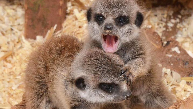 Meerkat Encounter at The Animal Experience for Two Adults and Two Children – Weekdays