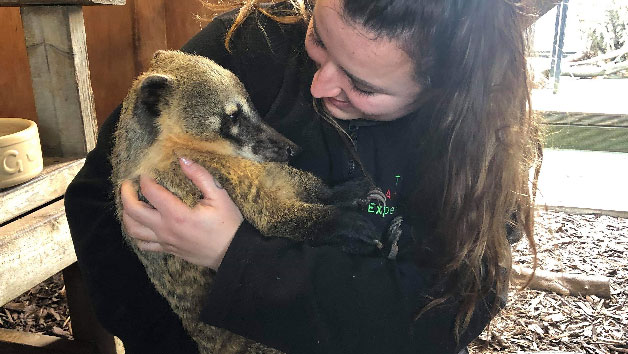 Meet a Coati at The Animal Experience for Two