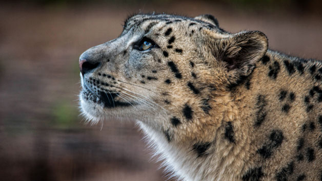 Entry to Welsh Mountain Zoo and Snow Leopard Experience for Two