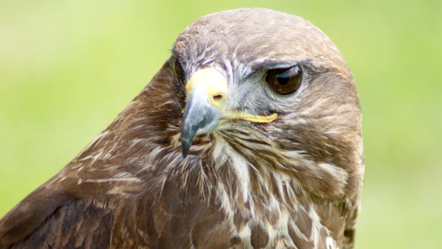 Half Day Falconry Experience for Two at Hilltop Birds of Prey