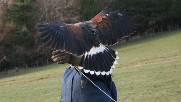 Birds of Prey Three Hour Experience for One at Rhuallan Raptors