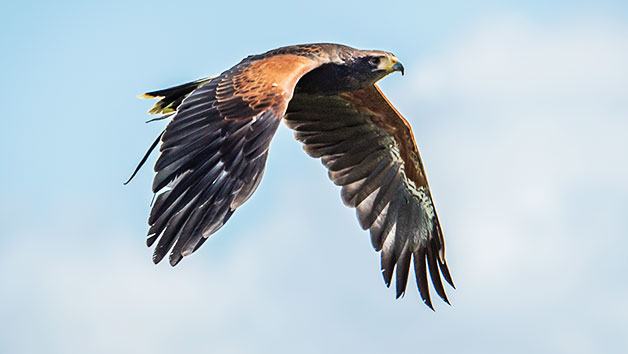 40 Minute Hawk Walk For Two At Millets Falconry