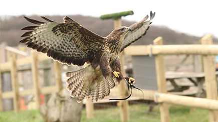 Half Day Falconry Experience with Coda Falconry