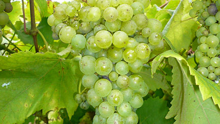 Vineyard Tour  Cream Tea And Wine Tasting For Two At Carr Taylor Vineyard