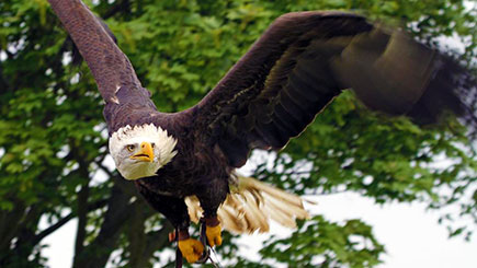 Eagle Handling Experience in Kent