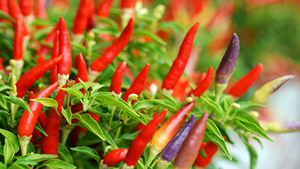 Chilli Grower Workshop For Two