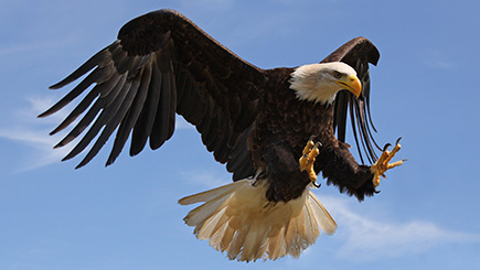 Ultimate Half Day Eagle Experience in Bedfordshire