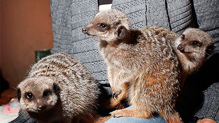 Meet the Meerkats for Two in Shropshire