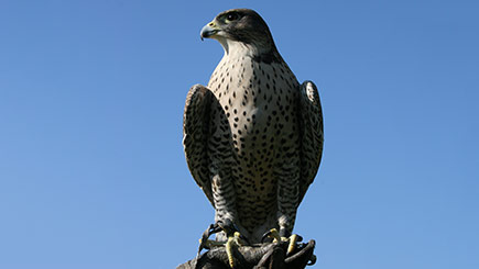 Falconry Taster in Herefordshire
