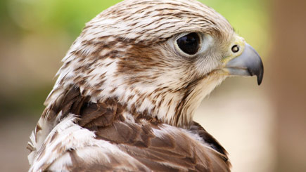 Bird of Prey Falconry Experience in Essex