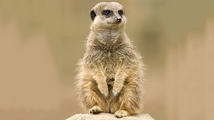 Meerkat Encounter at Knowsley Safari Park