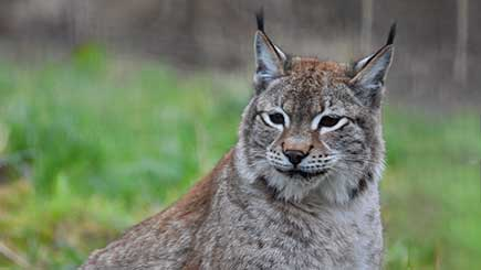 Lynx Encounter For Two In Lincolnshire