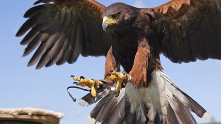 Bird of Prey Falconry Experience in Warwickshire