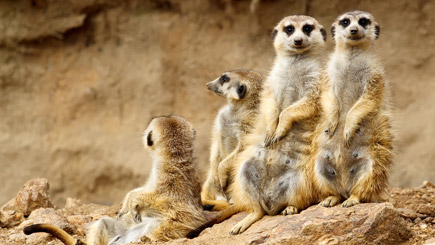 Meet The Meerkats for Two in Hertfordshire