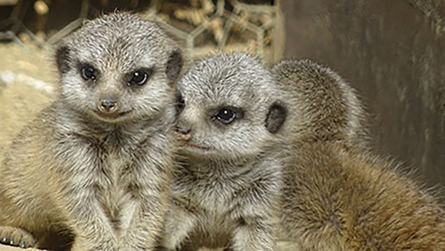 Meerkat Encounter For Two In Lincolnshire