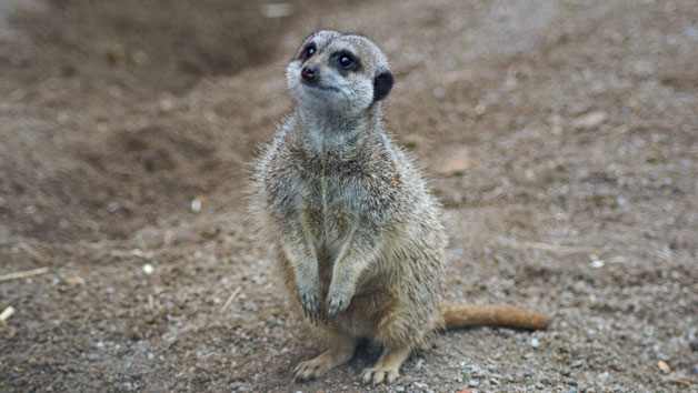 Entry To Welsh Mountain Zoo And Meerkat Experience For Two