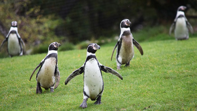 Entry To Welsh Mountain Zoo And Humboldt Penguin Encounter For Two