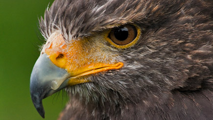 Bird of Prey Falconry Experience in Bedfordshire