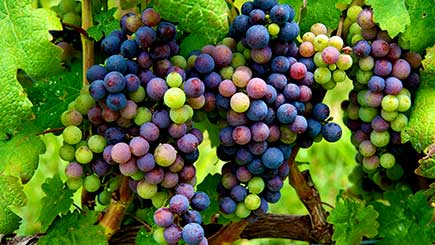 Vineyard Tour And Tasting For Two At West Street Vineyard  Essex