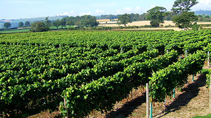 Vineyard Tour, Wine Tasting And Afternoon Tea For Two At Kerry Vale Vineyard