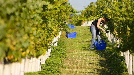 Vineyard Tour, Wine Tasting And Lunch For Two At Stopham Vineyard, West Sussex
